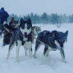 Tundra Huskies Huskyfarm